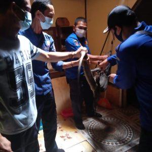 Evakuasi Biawak Jl. Bahagia
