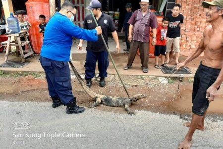 Evakuasi Biawak di Jl. Siswa Ujung Rt.18
