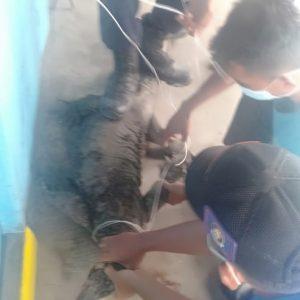 Evakuasi Biawak di jl. Siswa RT.17 Kel. Tungkal IV Kota