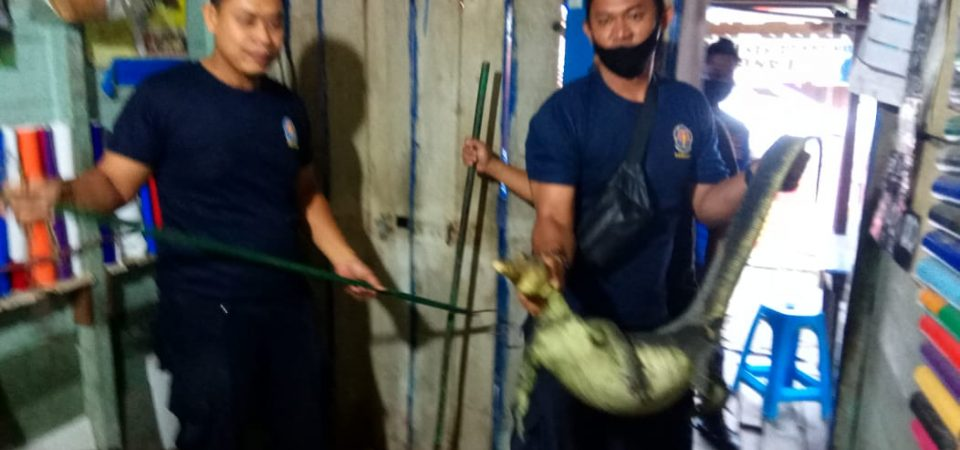 Evakuasi Biawak di Jl. Jend. Sudirman RT.04