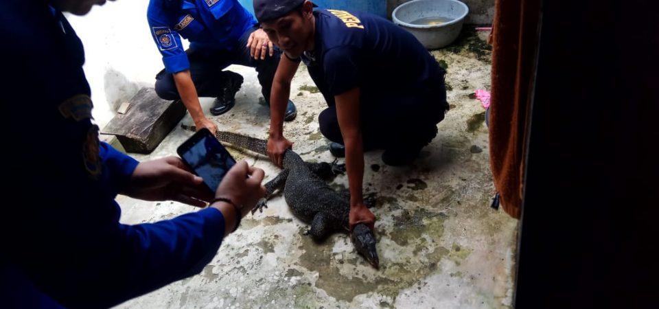 Evakuasi Biawak di BTN Pengabuan Permai Blok D