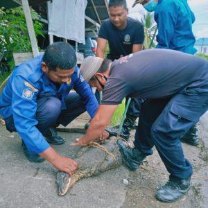 Evakuasi Biawak di Jl.Beringin (Kantor PLN)